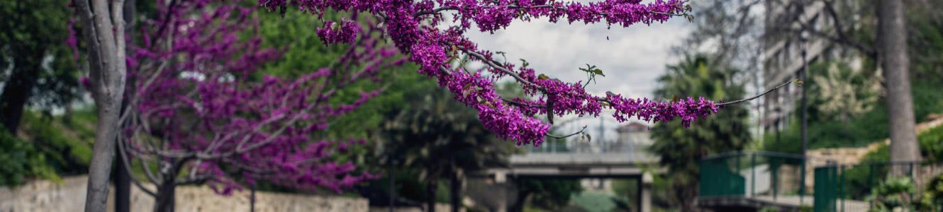 Image of a tree with purple flowers